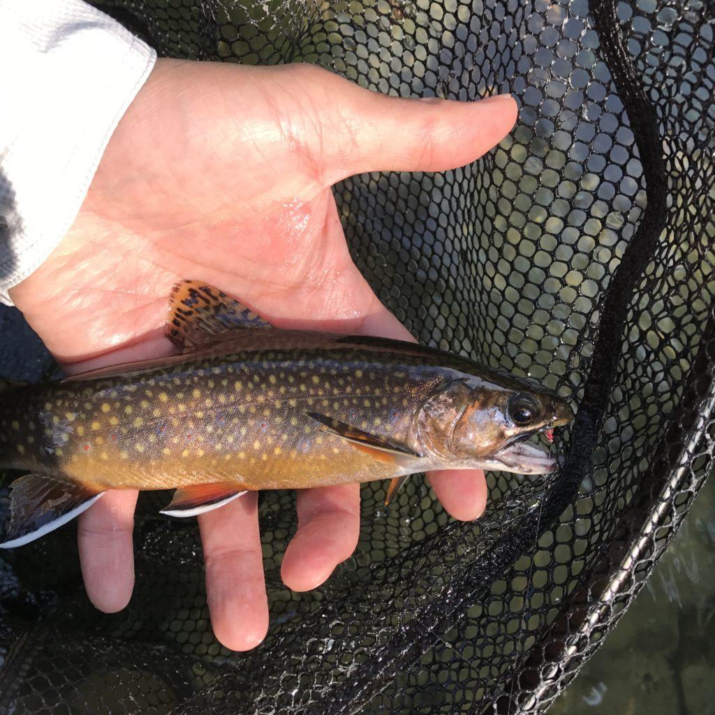 wild trout in massachusetts